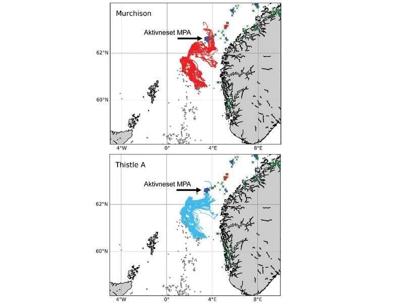 """Las simulaciones realizadas por el proyecto INSITE Fase 1 """"ANChor"""" muestran los caminos oceánicos que protegieron los corales de Lophelia pertusa del Cardo A y las plataformas Murchison (ahora derogadas) que pueden seguir, incluidos algunos de los cuales terminan asentándose en el área protegida marina de Aktivneset de Noruega. Imagen del proyecto INSITE Phase 1 ANChor."""