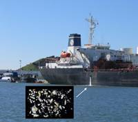 Invisible passengers. When ships discharge their ballast water, microscopic plankton, crab larvae and other potentially  harmful species often spill out as well. (Credit: SERC)
