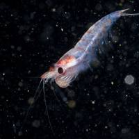Krill - RLS Photo/AdobeStock