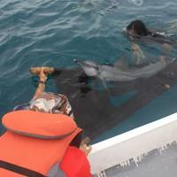 Only one of the dolphins survived to be released back into the wild (Credit: DolphinProject.com)