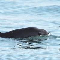 Vaquita species has been described as the world's rarest marine mammal - Credit: SEMARNAT/Flickr - Public Domain License
