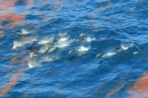Dolphins are seen swimming through the oil spilling from the Deepwater Horizon oil well at the height of the spill in 2010. (Credit:NOAA)