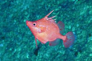 A striking image of Hollardia goslinei. This is a species of deep-water spike fish native to Hawaii. ROV footage of this species occurring in Australia puts it very far away from its known 'home' range. © Schmidt Ocean Institute