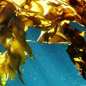 Seaweed: Fuel of the Future?