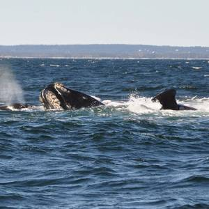 Canada Orders Ships to Reduce Speed to Prevent Whale Deaths