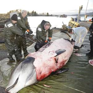 Plastic Bags Found Clogging Stomach of Dead Whale in Norway