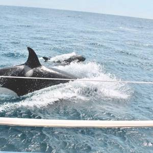 Aggressive Killer Whales Batter Sailboats off Spain and Portugal, Maritime Authorities Warn