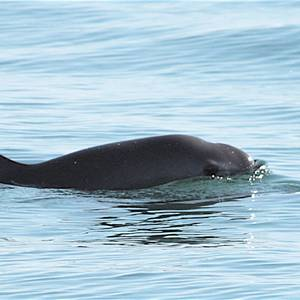 Mexico: New Fishing Regulation Endanger Near-extinct Porpoise Species