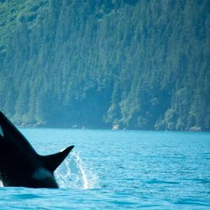 Regulator: Expand Pipeline, Protect Killer Whales
