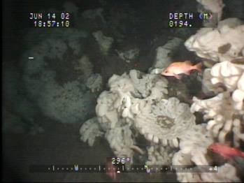 File Glass Sponge reef: Photo credit Dr. Kim Conway/Canadian Govt.