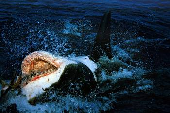 File Great White: Photo Wiki CCL