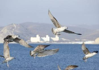 File Black Sea birds near pipeline route:Image courtesy of South Stream