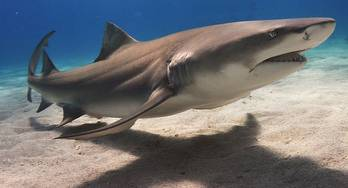 File Lemon Shark: Photo Wiki CCL