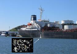 File Invisible passengers. When ships discharge their ballast water, microscopic plankton, crab larvae and other potentially  harmful species often spill out as well. (Credit: SERC)