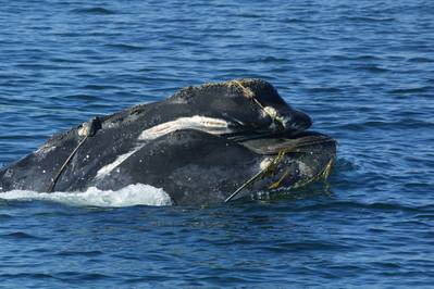 Only about 500 North Atlantic Right whales are in existence today. This image of an entangled right whale was taken by CCS under NOAA permit 932-1489. (Photo courtesy of the Provincetown Center for Coastal Studies)