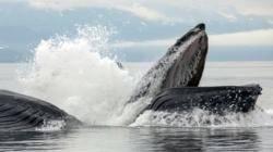 Photo credit Whale Watch Alaska