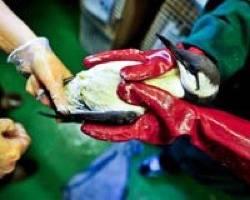 PIB Impacted Sea Bird:Photo credit WWF