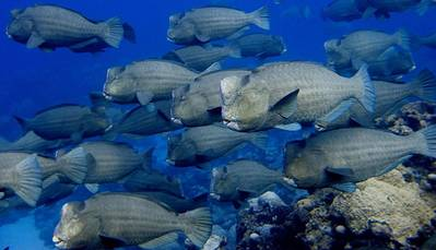 Reef grazing fish: Image credit, Brian Zgliczynski, Scripps Institution of Oceanography, UC San Diego