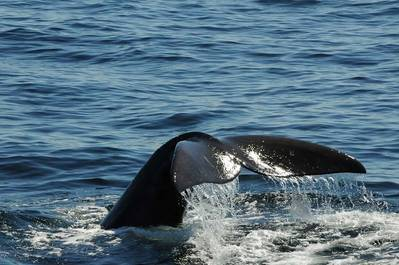 """Right whale """"lobtails"""" as researchers watch from a distance. Photo taken by Marine Environmental Observation, Prediction and Response Network (MEOPAR)."""