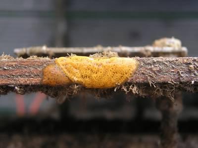 Incrustación de organismos bioincrustantes en una superficie metálica. Crédito: Maria Salta