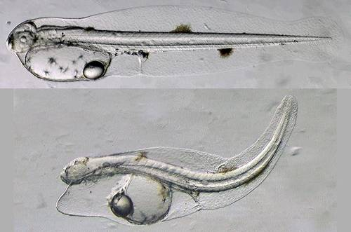 A normal yellowfin tuna larva not long after hatching (top), and a larva exposed to Deepwater Horizon crude oil during embryonic development (bottom). The oil-exposed larva shows a suite of morphological abnormalities including fluid accumulation from heart failure and poor growth of fins and eyes. (Image: John Incardona, NOAA)