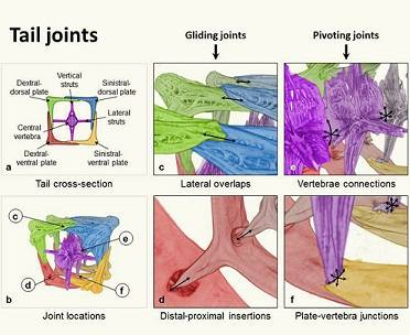 This image shows how joints are connected in the armored plates in the seahorse's tail.