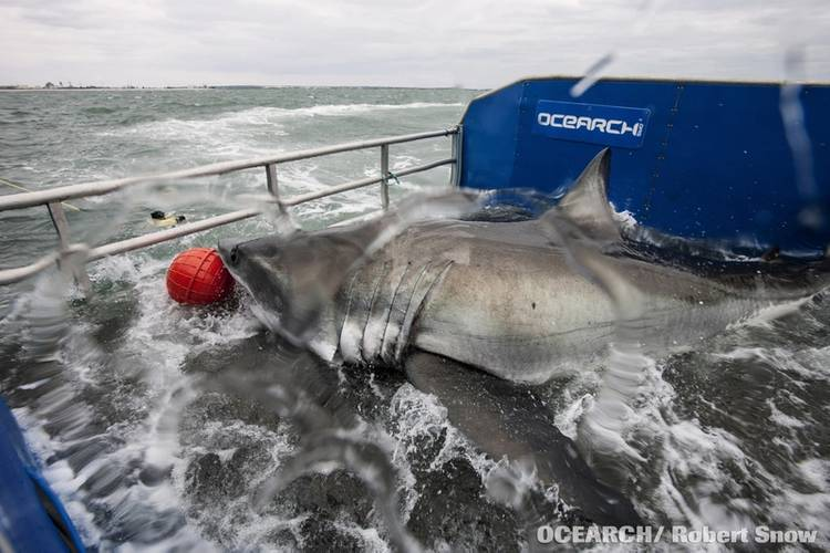 DYT has partnered with OCEARCH to support its study of sharks and other large predators that are essential to the future of the marine ecosystem. (photo credit OCEARCH/R. Snow)