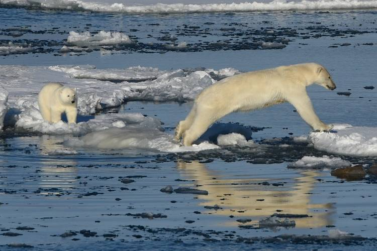 In total 86 polar bears were counted from the bridge. (Photo: Hapag-Lloyd Cruises)