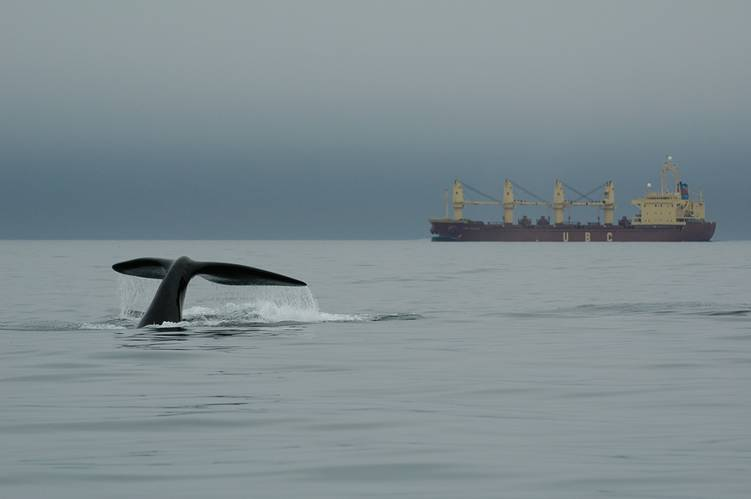 """Since implementation of mandatory seasonal speed restrictions along the U.S. east coast in 2008, the number of vessel struck right whales like this one has been dramatically reduced."""