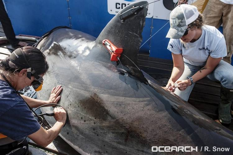 photo credit OCEARCH/R. Snow